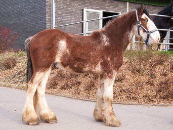 <h3>Schumanns Finlay</h3>Clydesdale wallach  * 16.04.2014