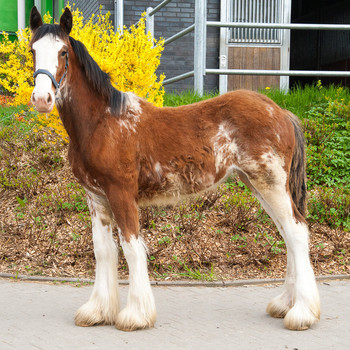 <h3>Schumanns Harmony</h3>Clydesdale stute  * 19.06.2016