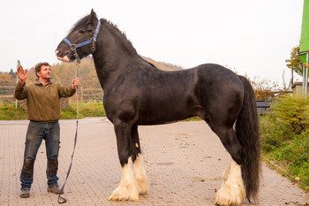<h3>Toc Hill Sir Charles</h3>Shire Horse hengst  * 22.04.2012