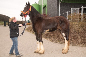 <h3>Schumanns Georgie Girl</h3>Shire Horse stute  * Jun 29, 2015