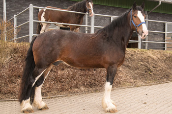 <h3>Schumanns Dynamit</h3>Shire Horse stute  * May 14, 2012