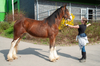 <h3>Schumanns Hola</h3>Clydesdale stute  * 11.06.2016