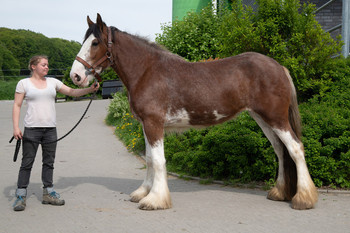 <h3>Schumanns Golden Girl</h3>Clydesdale stute  * May 17, 2015