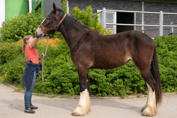 <h3>Schumanns Gipsy Rose</h3>Shire Horse stute  * May 26, 2015