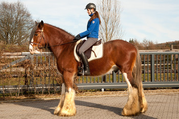 <h3>Cawood Sir Charles</h3>Clydesdale hengst  * 16.05.2008