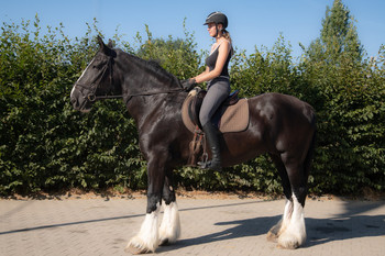 <h3>Senlim Heather May</h3>Shire Horse stute  * 23.05.2005