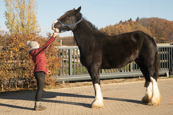 <h3>Rockhills Lady Margaret</h3>Shire Horse stute  * May 07, 2012