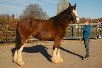 <h3>Manor Farm HJC</h3>Shire Horse wallach  * Jun 24, 2015