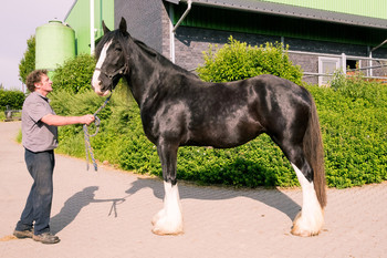 <h3>Schumanns Black Pearl</h3>Shire Horse stute  * May 21, 2010