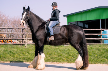 <h3>Metheringham Upton Eloise</h3>Shire Horse stute  * 02.04.2006