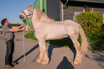 <h3>Schumanns Gatsby</h3>Shire Horse wallach  * Jun 24, 2015